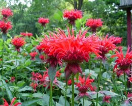 Bee Balm is a magnet for Songbirds, Butterflies and Bees and Hummingbirds