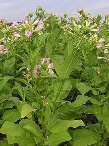 Tobacco plants with flowers.