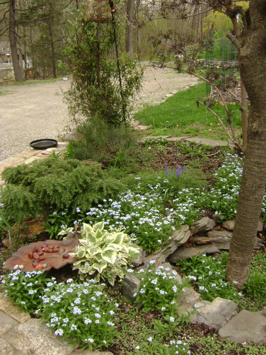 FORGET ME NOT in blue, Brennera, verigated, Jededoha hemlock in back, Nelly Moser, Climatis not yet in bloom