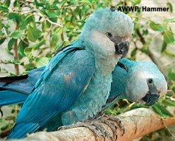Extinct Macaws: The Spix's Macaw