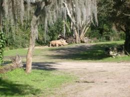 A glimpse of the rare white rhinoceros.