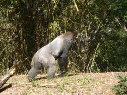 This is one massive gorilla!