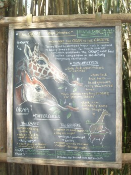 A helpful illustration about the okapi being part of the giraffe family