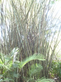 There were huge clumps of bamboo everywhere