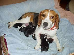 Beagle with her pups:   It is a small litter so human intervention will be needed during socialization