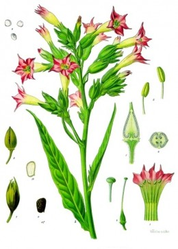 Cultivated tobacco, Nicotiana tabacum.