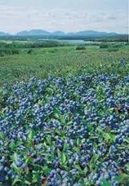 Beautiful Field of Wild Blueberries