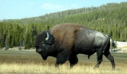 Bison roam freely around Yellowstone National Park.  All animals are wild so do not approach or try to feed them