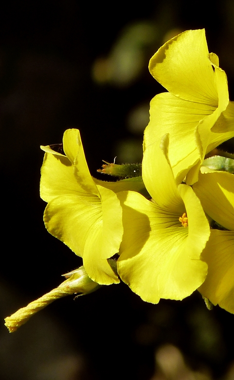 Golden Trumpets Heralding the coming Spring
