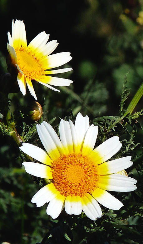 Large daisy like flowers