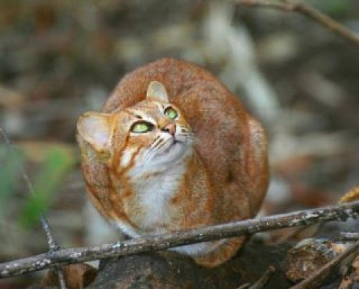 Rusty Spotted Cat Bandhavgarh