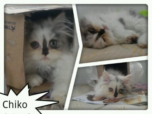 My sweet little kitten, Chiko Cesare