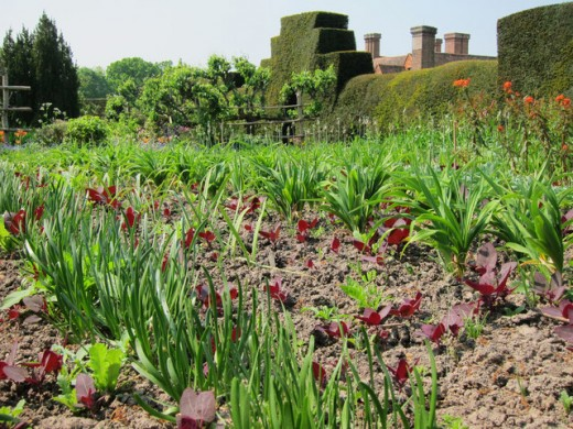 Spring vegetable garden at Great Dixter House in Northiam, East Sussex. Great Britain.
