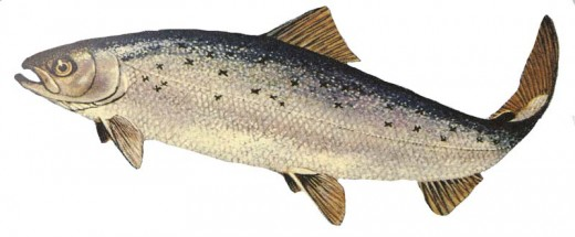 An Atlantic Salmon - Just one of the many types of fish you'll have the chance to catch with West Coast Angling.
