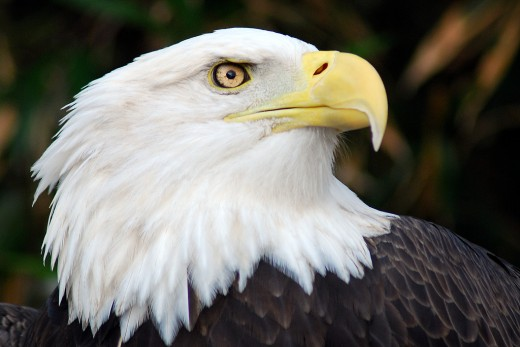 Endangered Bald Eagle - One of the Species of Birdds to be Seen at the Burren Birds of Prey Educational Centre