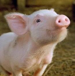Cute little teacup piggy.