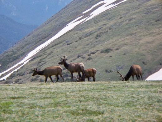Elk along side Trail Ridge Road