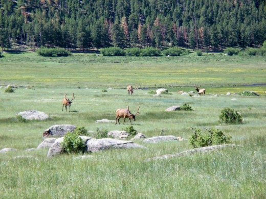 Elk in field off of Bear Lake Road