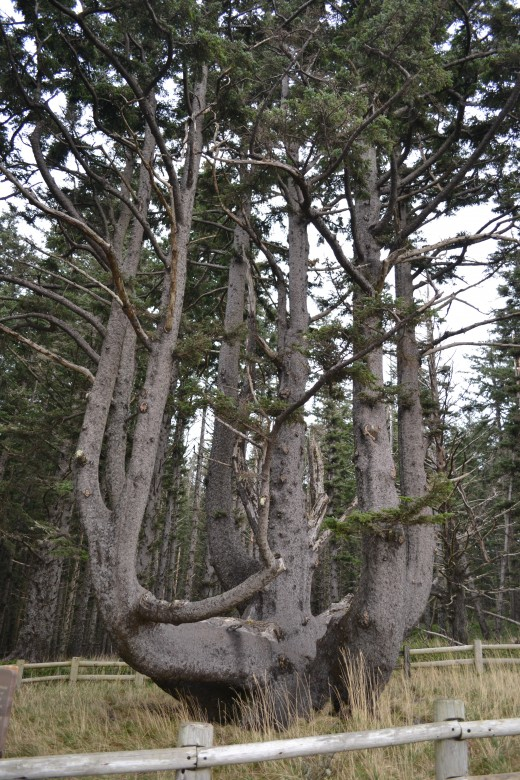 The Octopus Tree Largest Sitka Spruce in Oregon