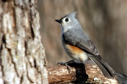 Tufted Titmouse on Branch, Taken Through My Window