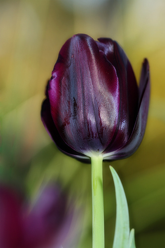 Black tulip - dark purple.