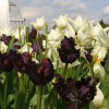How to Find the 75 Plants That Are Black Instead of Green; and the Black Plant Scandal