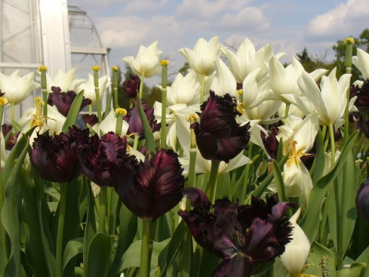 Black Parrothead Tulip - feathery and dark.