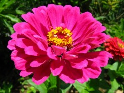 How to Grow Beautiful Zinnia Flowers
