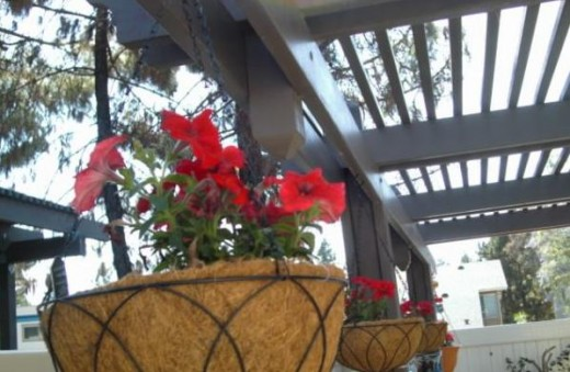 Hanging petunias for the hummingbirds