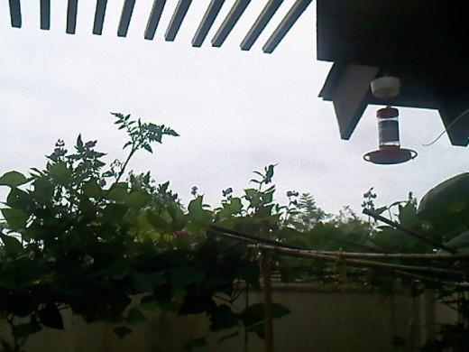 While the camote vines are creeping under, another vegetable vine is using this trellis on the other side of the patio.