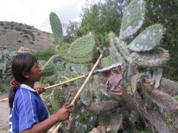 Harvesting Cochineal