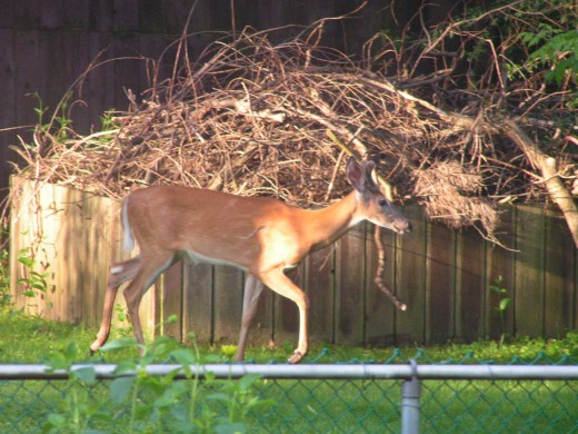 A White-Tailed Deer Visits from the Ravine
