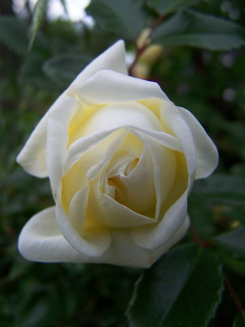 Heirloom White Rose.