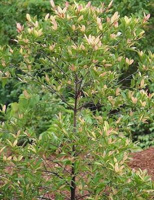 A Kokum Tree