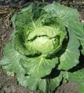 Spotlight on the Cabbage: History, Health Benefits, and Recipes
