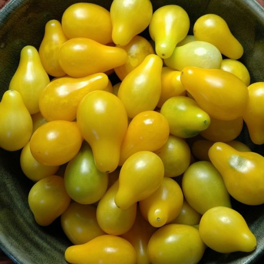 Yellow Pear Heirloom