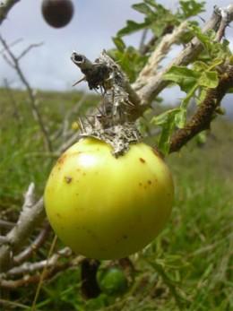 Devil's Apple Fruit