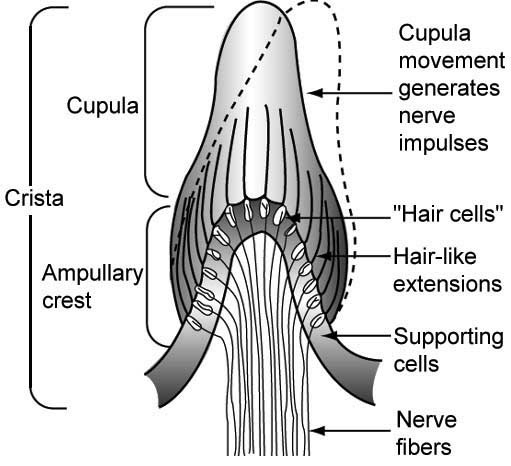 Diagram of the cupula and ampullary crest, located at the base of each semicircular canal