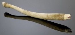 Walrus Baculum - Carved