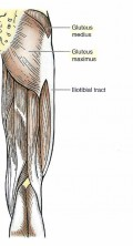 Major muscles that shape the buttocks