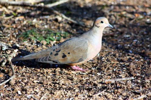 Dove eating sunflower seeds on the ground.