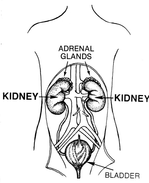 The kidneys are bean-shaped organs about the size of a fist located on either side of the spine and protected by the rib cage. Their primary function is to filter blood and help the body rid itself of waste and excess water and salt.