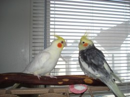 Cockatiels Pablo (left) and Lola (right)