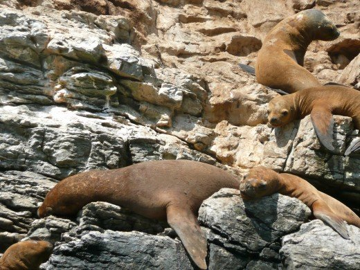 Sleepy sealions