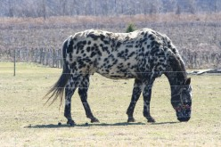Rare And Beautiful:   Appaloosa Horse