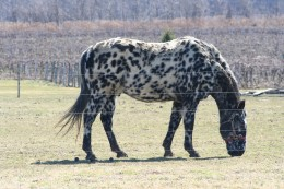 Appaloosa -  A beautiful horse