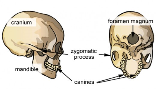 The position of the foramen magnum directly beneath the skull indicates that we are bipedal. Scientists use it, when examining fossil ape skulls to determine how they stood and walked.