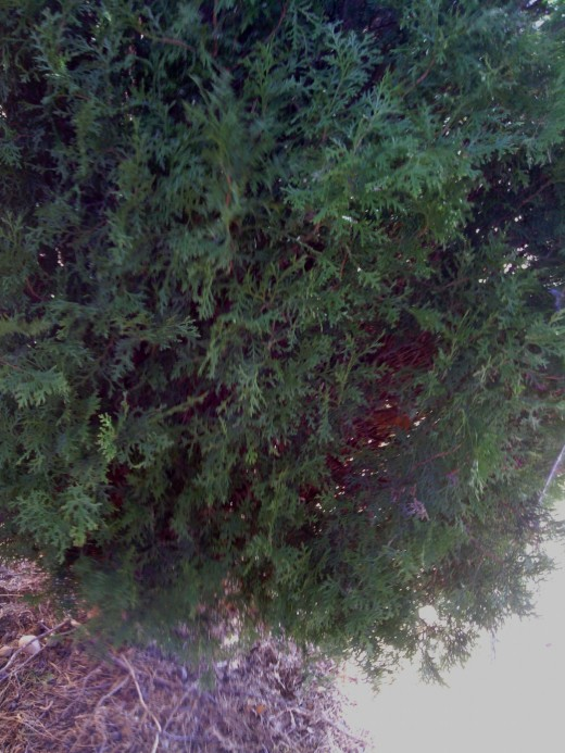 A nice bush to hide behind