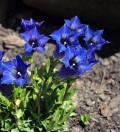 Gentian Growing Tips