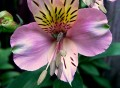 How to Grow Alstroemeria or Peruvian Lily